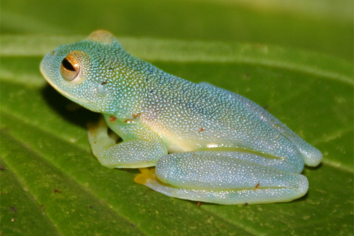Glass frog in Colombia