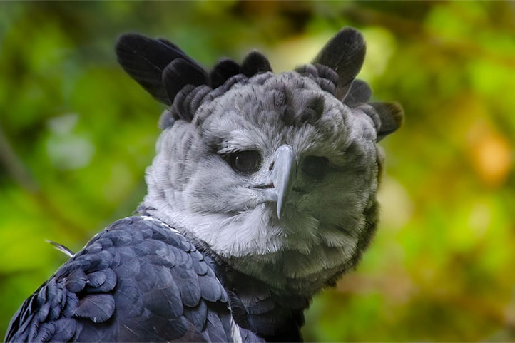 Harpy Eagle in Colombia