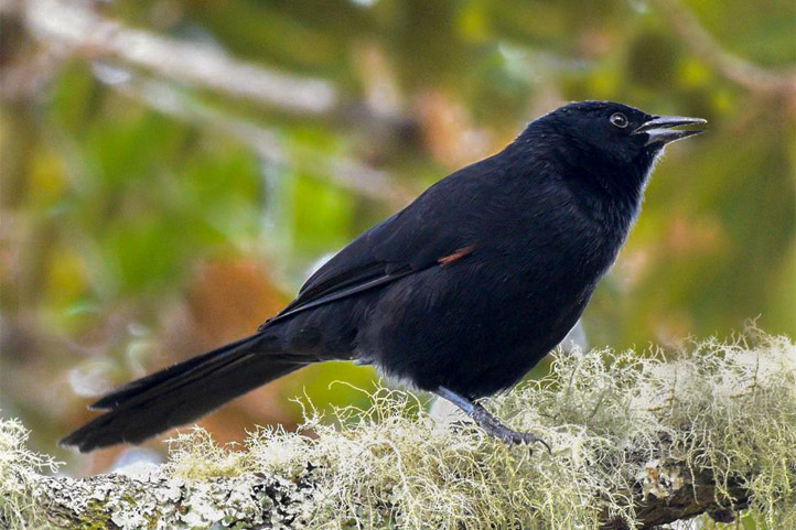 Colombian mountain grackle on a mossy branch