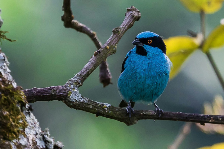 Turquoise dacnis on a bench