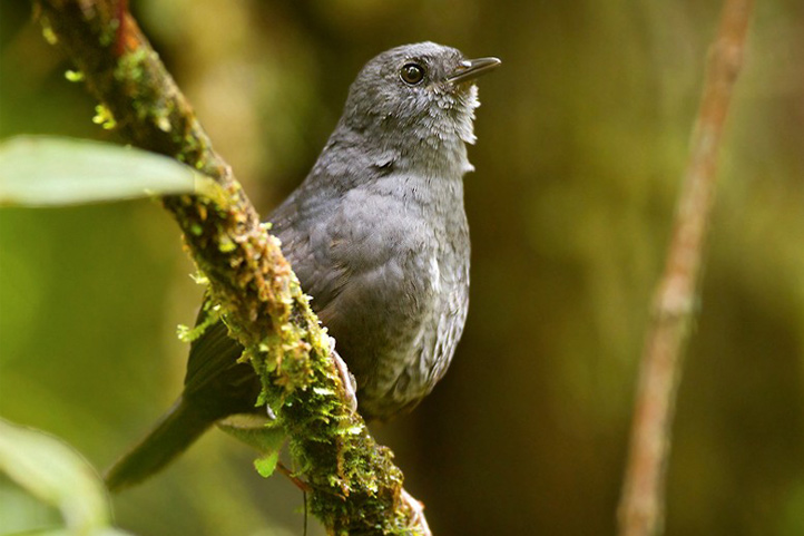 Magdalena tapaculo on a branch