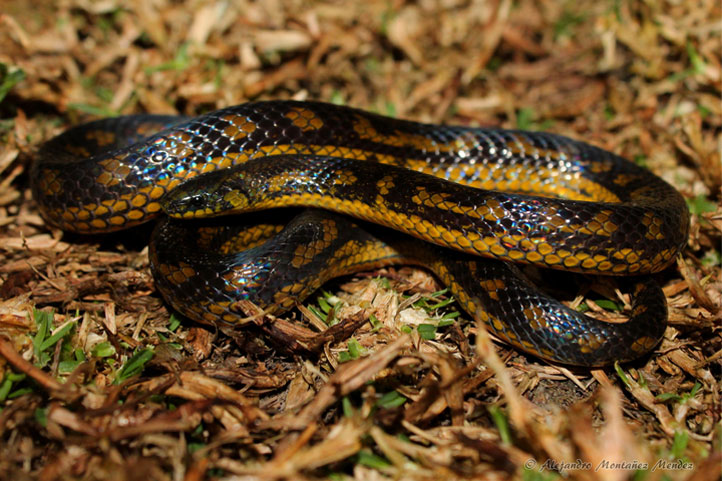Thickhead ground snake on dry grass