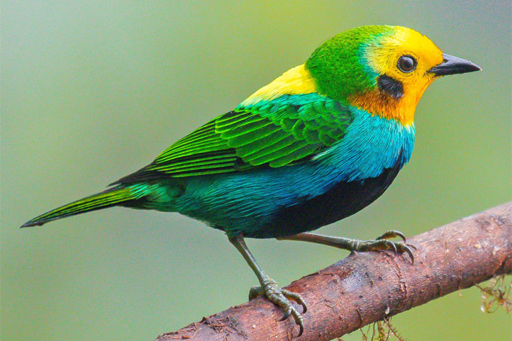 Multicolored tanager on a branch