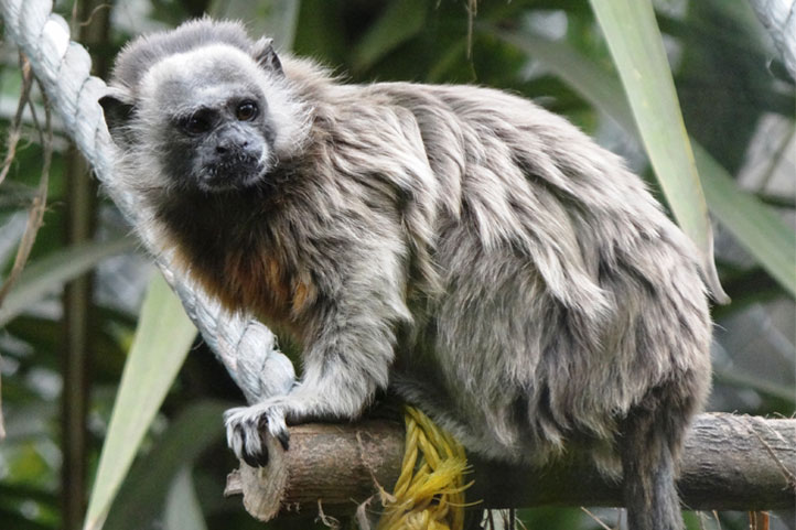 White-footed tamarin on a bench